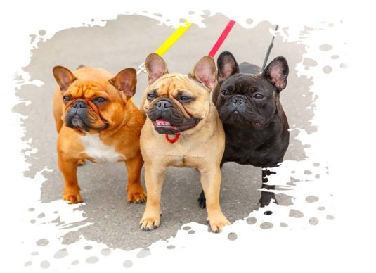 drei französische bulldoggen an der leine